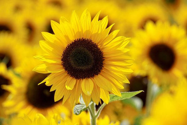 le-phare-association-shallow-focus-photography-of-yellow-sunflower-field-under-1169084